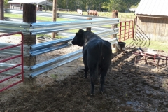 LiveStock Steel Pin for Brutus the Bull