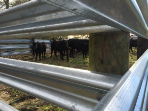 Cows in a Guardrail Corral