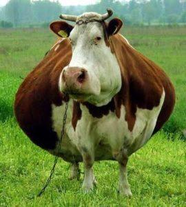 funny-cows-44