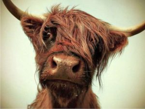 funny-cow3